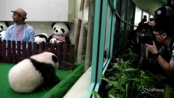 Malesia: zoo di Kuala Lumpur, prima uscita pubblica per il baby panda