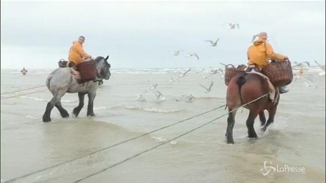 In Belgio i gamberetti si pescano a cavallo