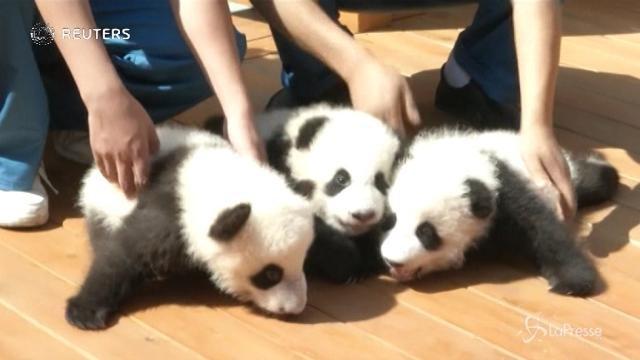 VIDEO Cina, ecco tre nuovi cuccioli di panda