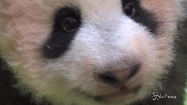 VIDEO Ecco Xiang xiang la cucciola di panda gigante