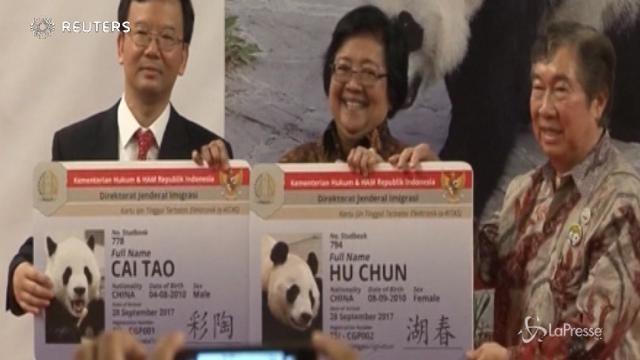 Indonesia: panda giganti arrivati al Taman Safari
