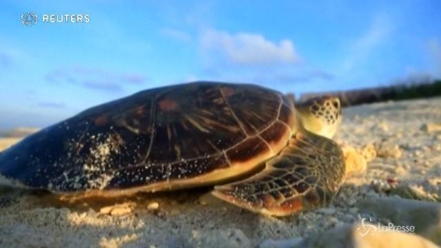 VIDEO Documentario cinese mostra il ciclo riproduttivo di una tartaruga