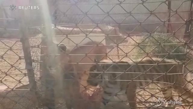 Le tigri di Aleppo sono al sicuro in Olanda