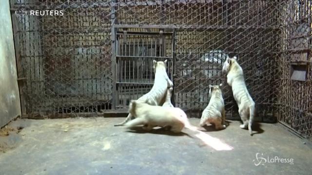 La Cina ruggisce, nate 10 tigri bianche in pochi mesi