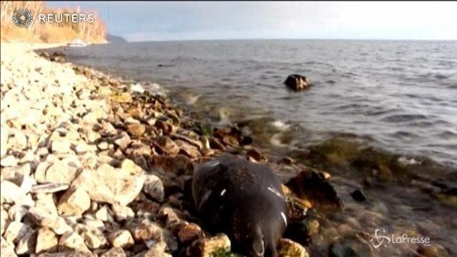 Strage di foche nel lago Baikal: morte in 140