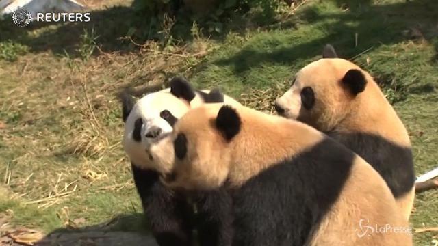 Cina, si abbassano le temperature per la gioia dei tre panda gemelli