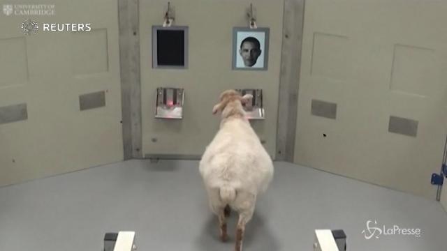 Da Obama a Emma Watson: le pecore riconoscono i volti dei vip