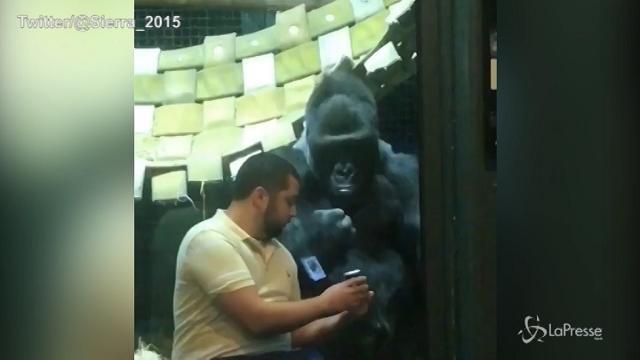 Jelani, il gorilla che ama gli smartphone