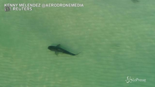 Miami, squalo tigre nuota indisturbato in mezzo ai bagnanti