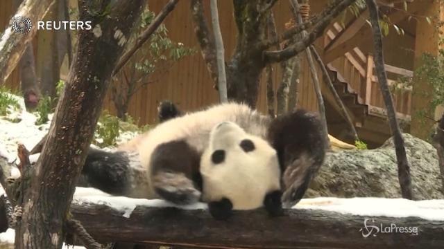 Cina: i panda giganti si divertono con la neve