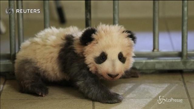 Brigitte Macron madrina di un cucciolo di panda