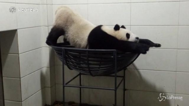 Cina, la ginnastica del panda