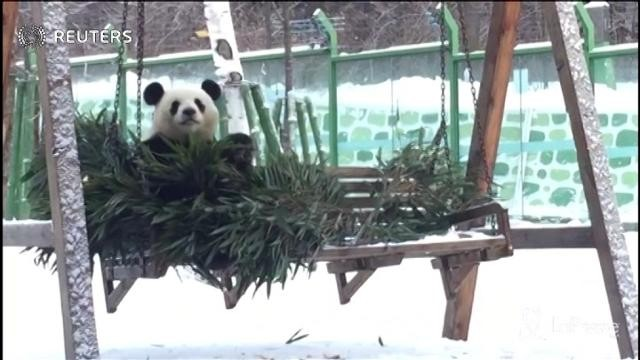 Cina, giochi nella neve per il panda gigante