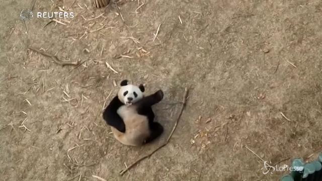 Cina, l'allenamento di Pupu, il panda che punta alle Olimpiadi