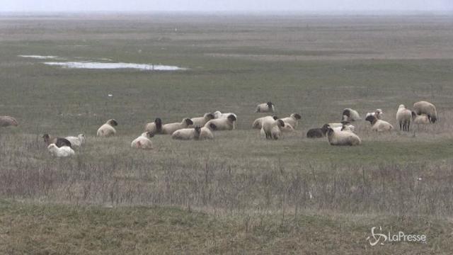 Romania, base americana assediata… dalle pecore