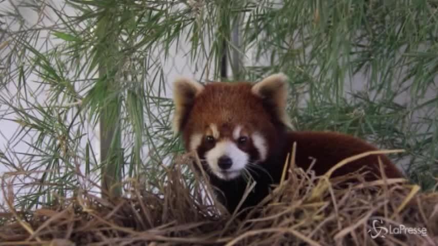 Tre panda rossi salvati in Laos