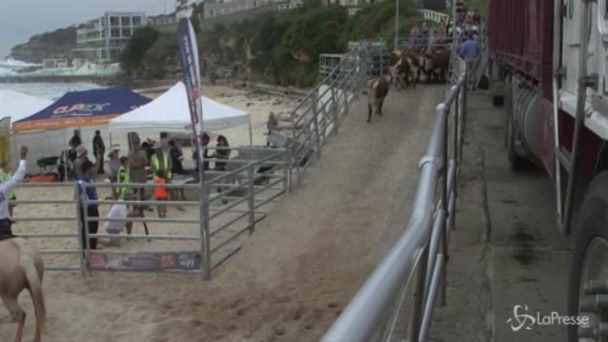 Australia, la spiaggia dei surfisti invasa dalle mucche