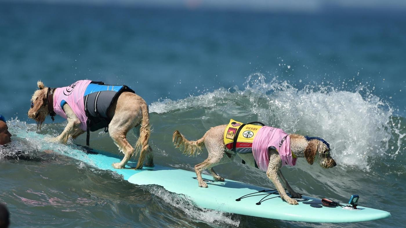 Dog surf in California. I cani sulle tavole tra le onde