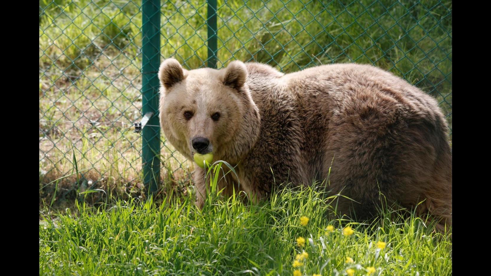 Animalisti in rivolta dopo l'abbattimento dell'orsa KJ2