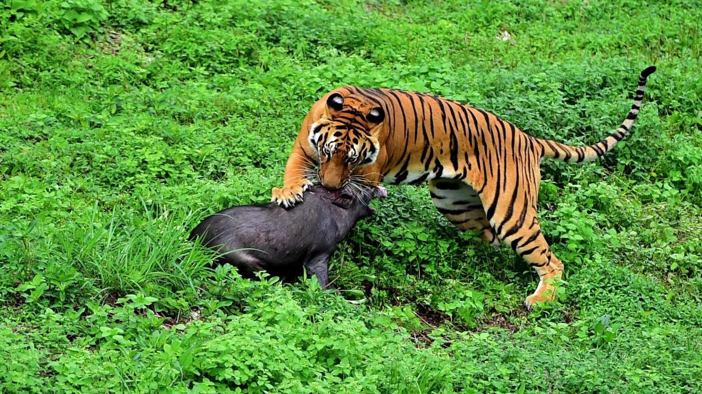 Nel mondo restano solo 3.900 tigri. Una giornata per salvarle
