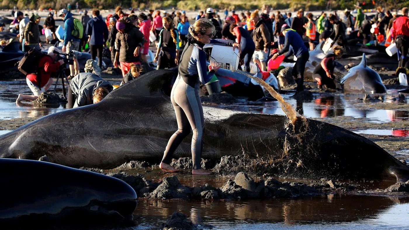 Nuova Zelanda, in salvo 240 balene