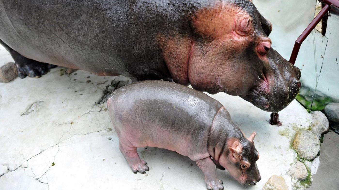 FOTO Baby ippopotamo debutta in pubblico