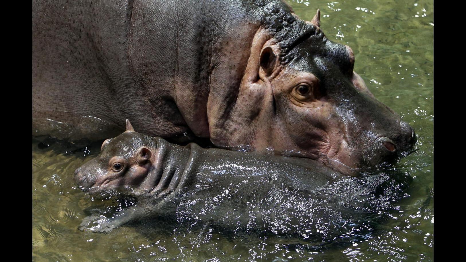 Cuccioli di sciacallo allo Zoo di Shanghai: con loro un baby ippo