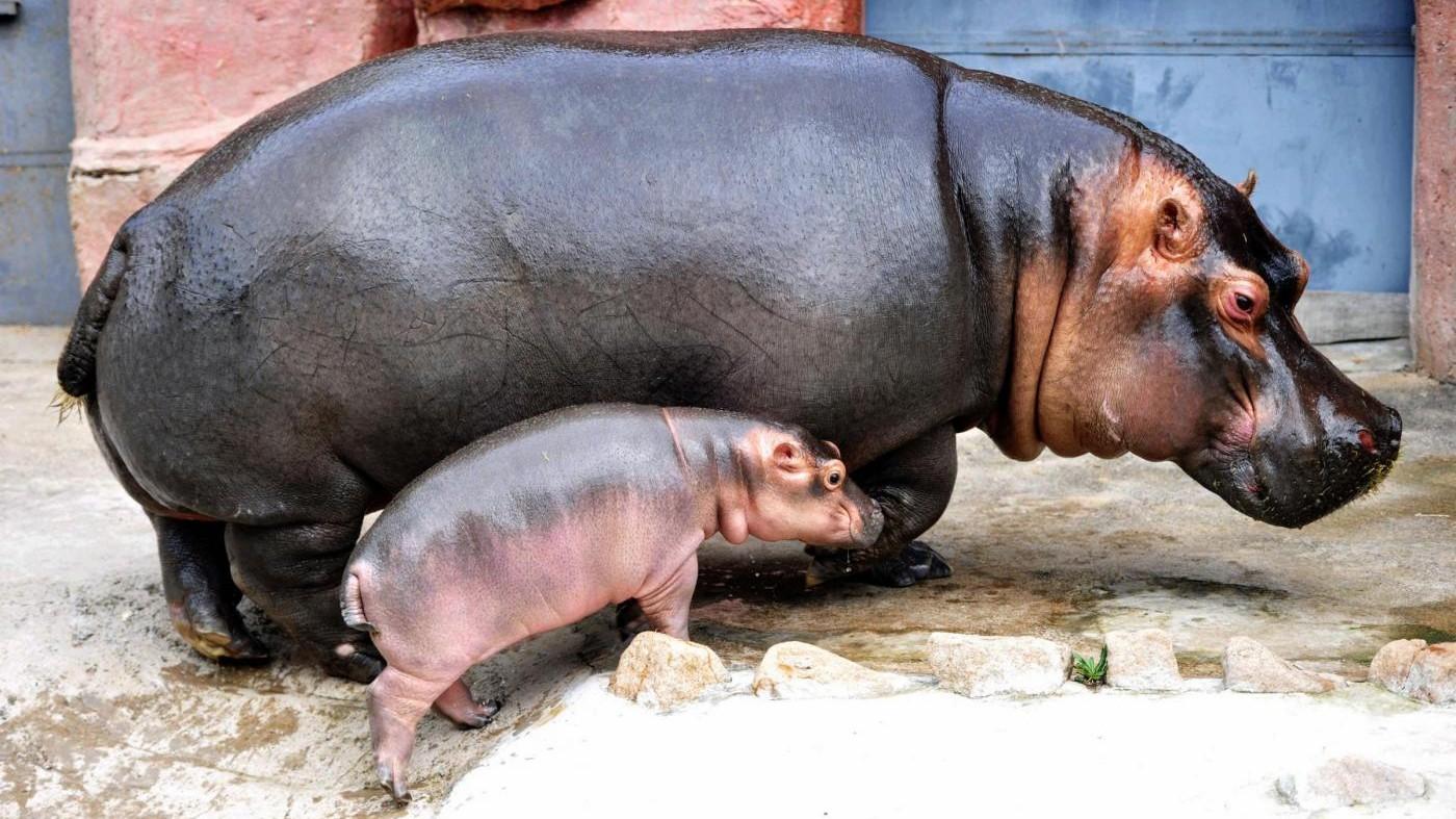 Verona, nasce baby ippopotamo da mamma e papà ultra 40enni