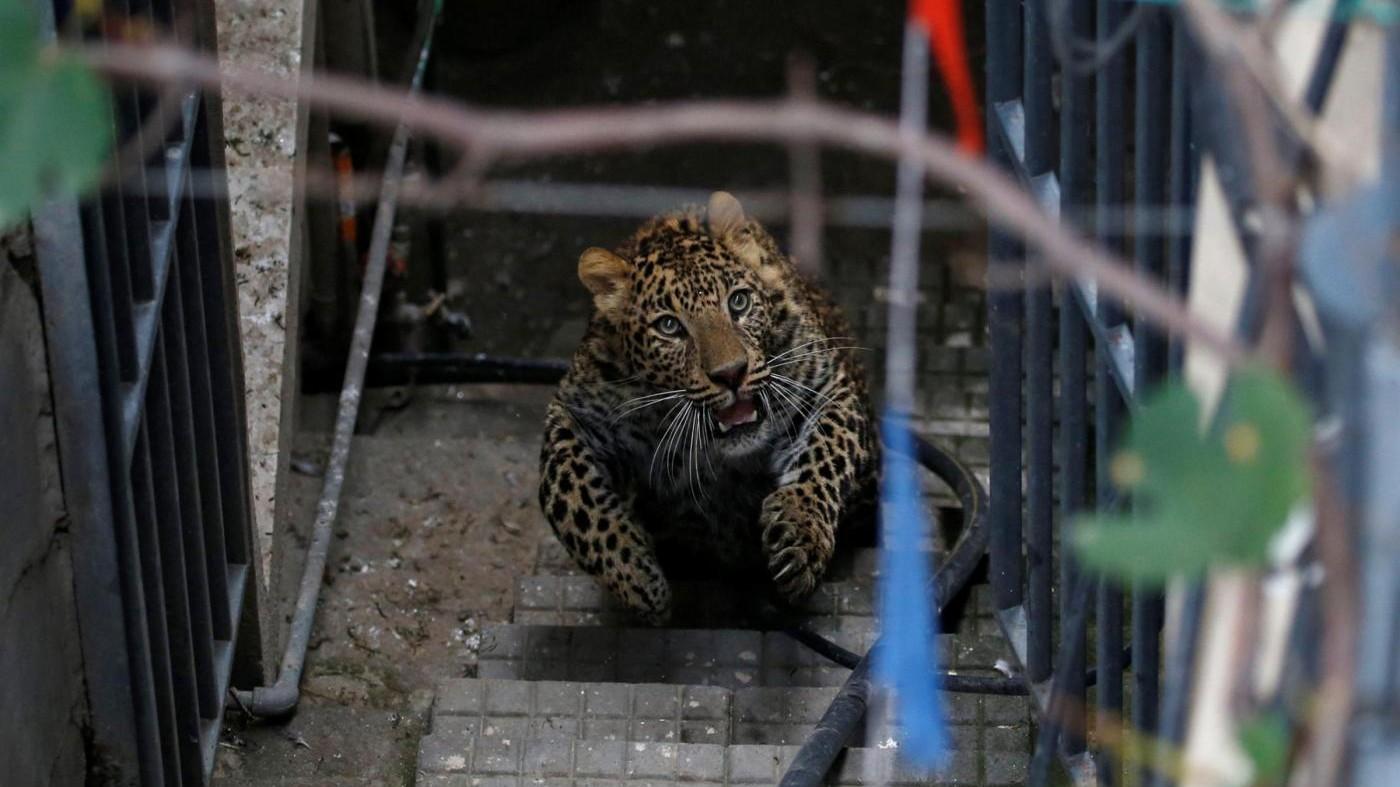 FOTO Nepal, un leopardo si perde per le strade di Kathmandu
