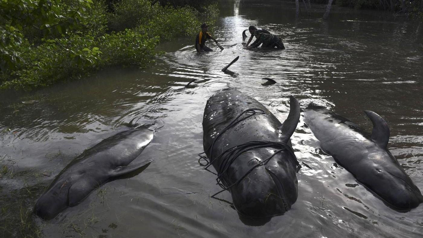 FOTO Indonesia, balene si arenano su spiaggia: corsa per salvarle