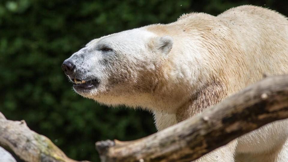 Russia, 15 orsi bianchi in seggio stazione artica
