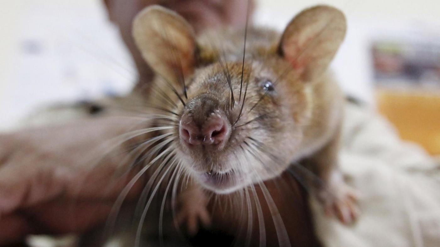 Ai premi Nobel del trash vince ricerca su vita sessuale ratti