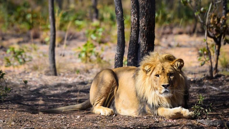 Kenya, bimba uccisa da leoni: erano scappati da parco nazionale
