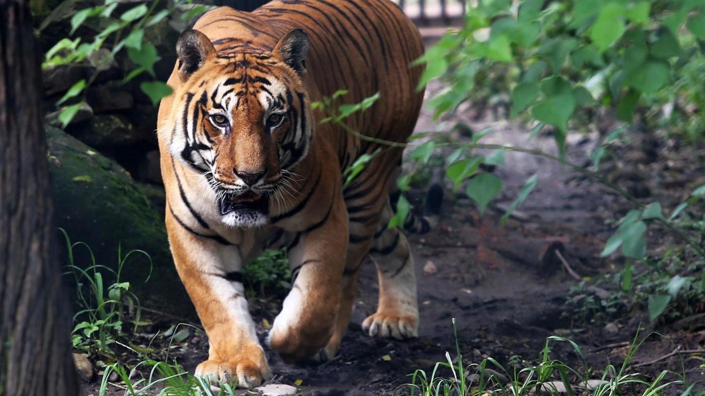 Giornata mondiale della tigre, allarme Wwf: Chiudere 'tiger farm'