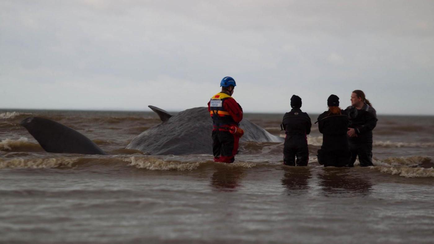 Argentina, liberata in mare balena che si era arenata