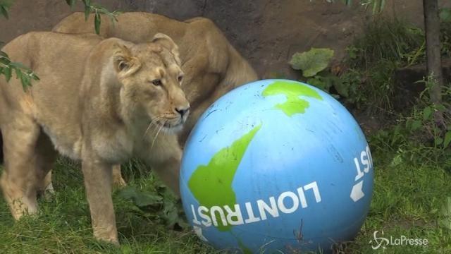 Allo zoo di Londra si festeggia la giornata mondiale del leone