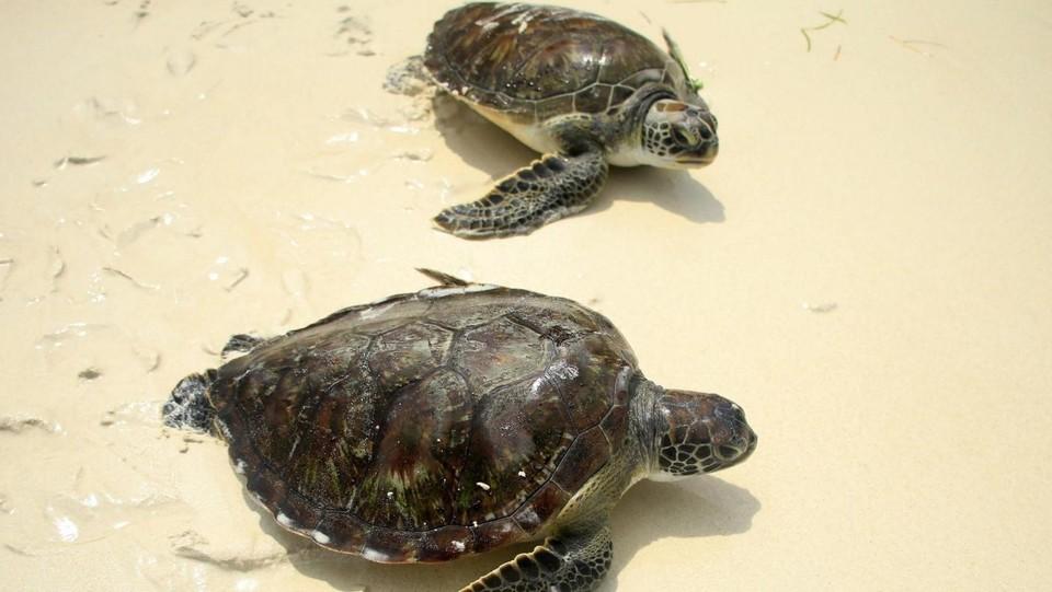 Milano, abbandonato esemplare pericoloso di tartaruga azzannatrice