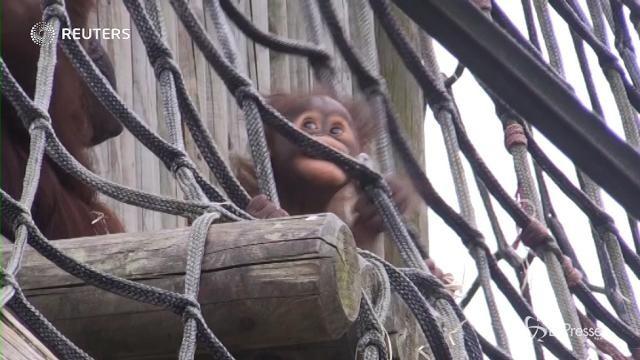 Gb: mamma orango 40enne partorisce il suo sesto cucciolo