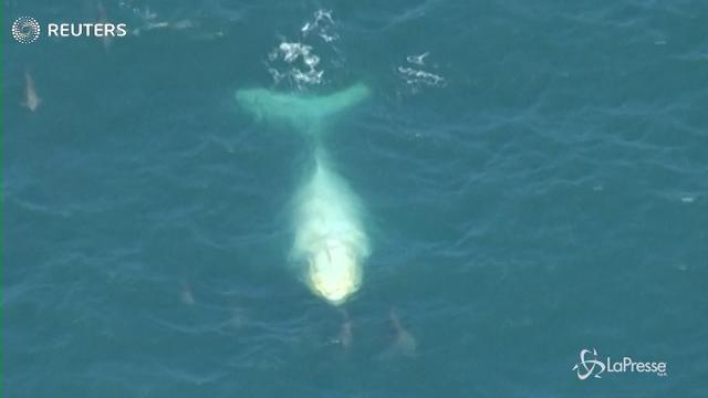 Avvistata in Australia una balena megattera bianca