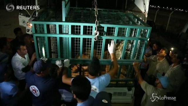 Turchia, leonessa incinta salvata dallo zoo di Aleppo