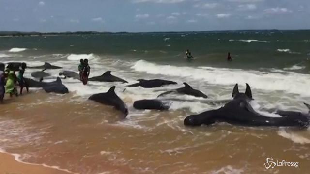 Sri Lanka, in salvo 20 balene spiaggiate