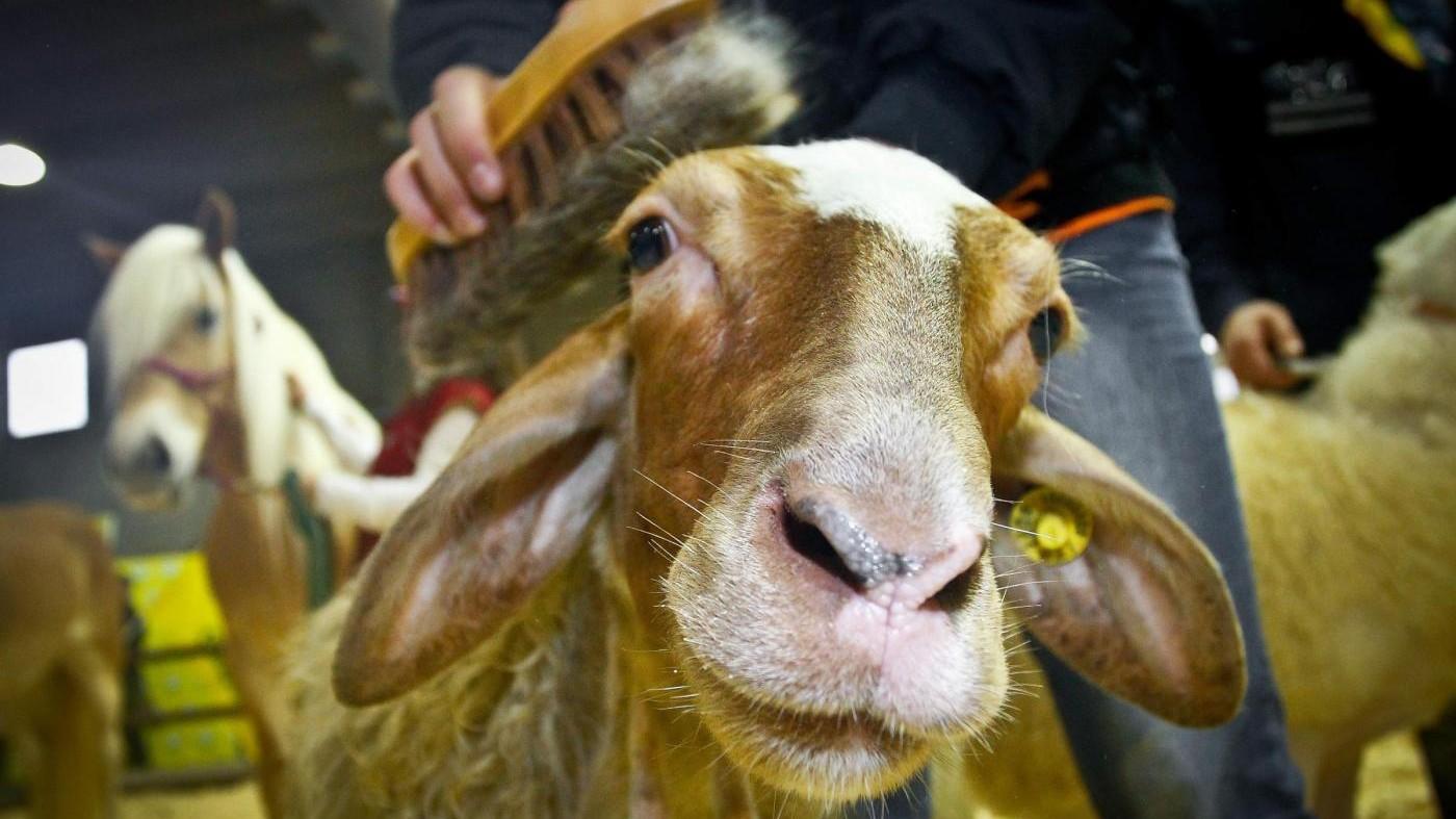 A 20 anni da nascita Dolly a L'Aquila si celebra il Pecora Day