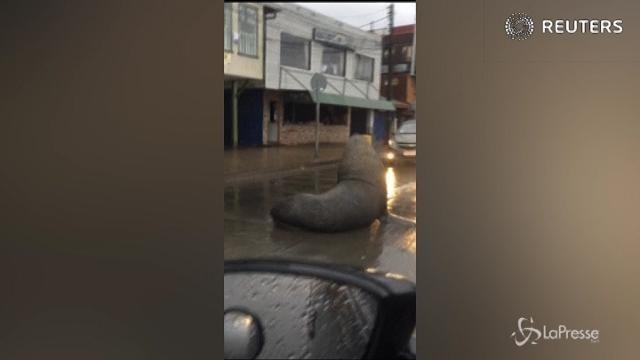 Cile, il leone marino in mezzo al traffico