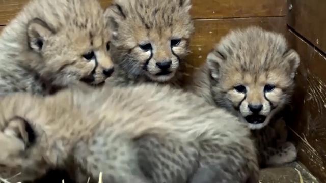 Ecco 5 nuovi cuccioli di ghepardo