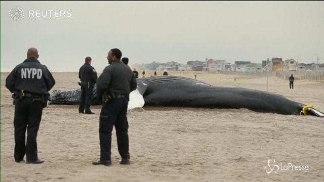 New York: una balena morta sulla spiaggia del Queen's