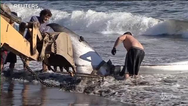 Cile, una balena spiaggiata sulla costa di Lota