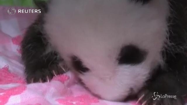 Cina: il panda gigante Jun Zhu dà alla luce una cucciola