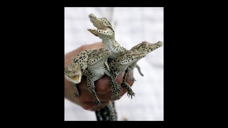 Laos, schiuse in zoo 20 uova coccodrilli siamesi a rischio estinzione