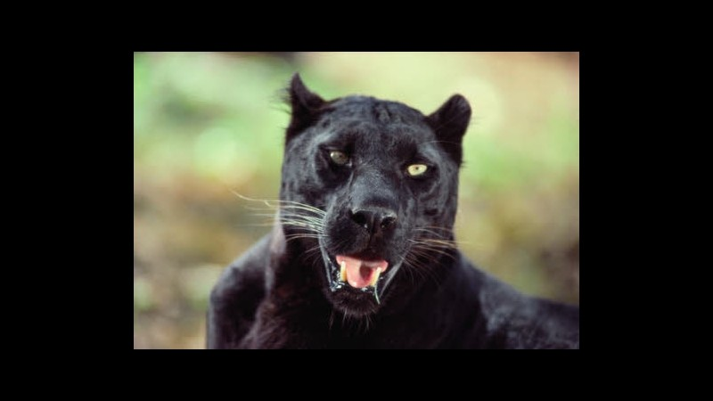 Svizzera, allerta per avvistamenti pantera nei boschi di Soletta