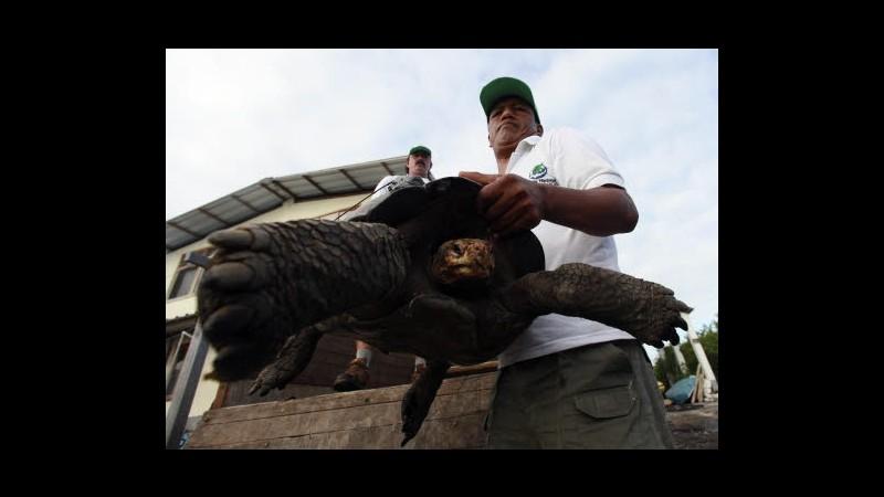 Galapagos, tartaruga Diego è nuova star dopo morte Lonesome George